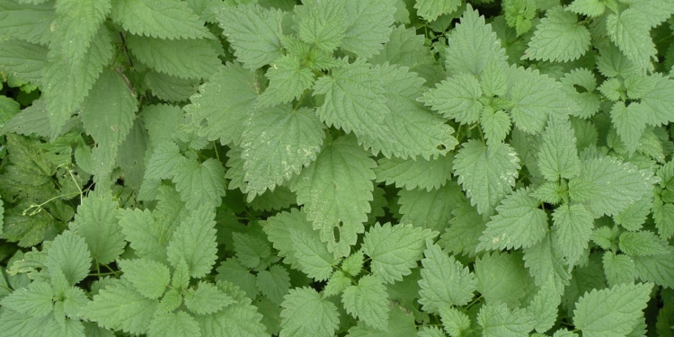 W zależności od stanowiska poszczególne rośliny osiągają od 40 do150 cm.