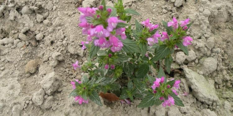 Rośliny osiągają wysokość od 10 do 100 cm. Roślina od dołu rozkrzewiona z wydłużonymi blaszkami liściowymi, cała pokryta włoskami.