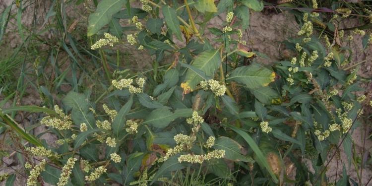 Rośliny wysokość 30–60 cm, na żyznych stanowiskach dorastają do 100 cm.
